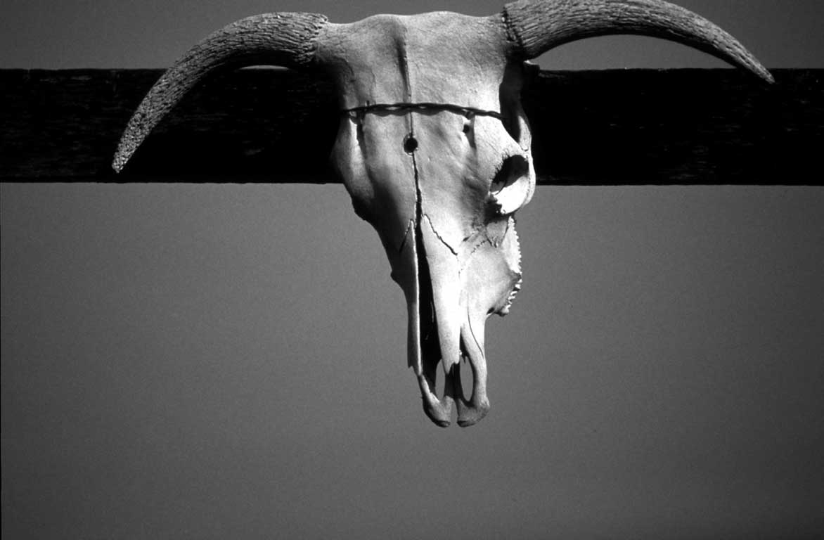 Cow Scull, Amado-James O'Mara Photography-James O'Mara