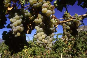 White Grapes-BC Wine Country-James O'Mara