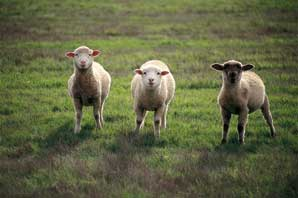 Three Sheeps-BC Wine Country-James O'Mara